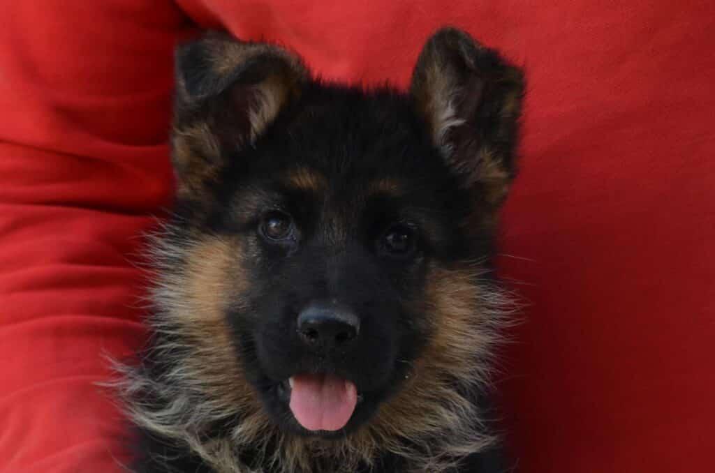 allevamento pastore tedesco cucciolo alta genealogia