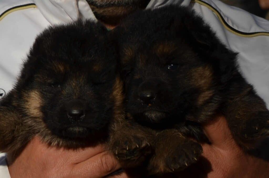cucciolo pastore tedesco maschio o femmina