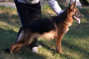 pastore tedesco femmina fattrice