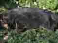 cuccioli pastore tedesco allevamento